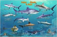 Palau sharks card